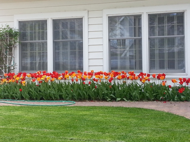 DH Tulips