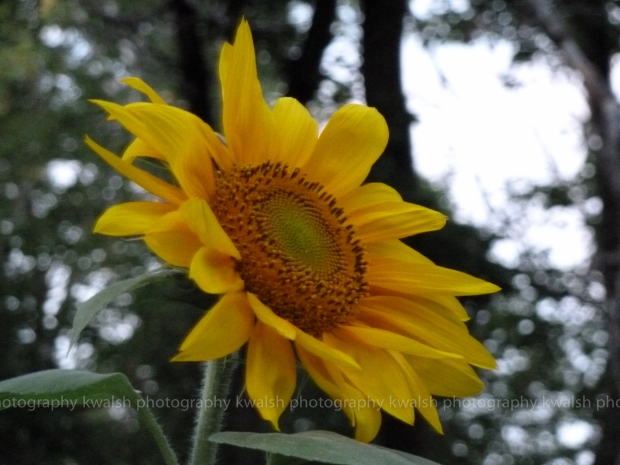 A Sunflower ©kwalsh photography 2012