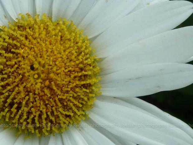 White Petals ©kwalsh photography 2011