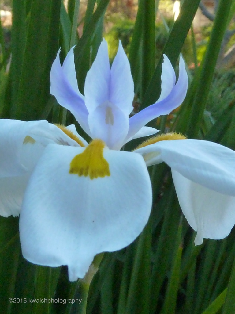 California Iris