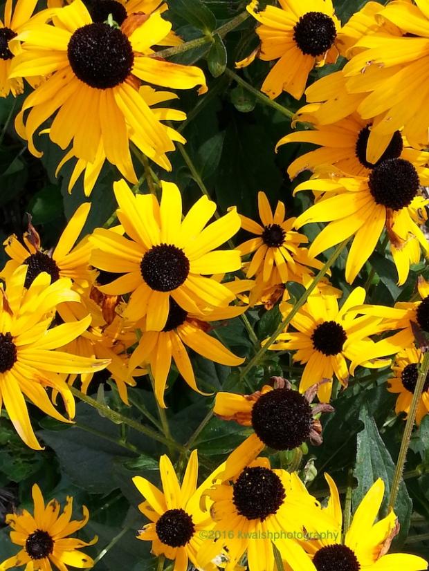 Golden Flowers in Minnetonka MN ©kwalshphotography